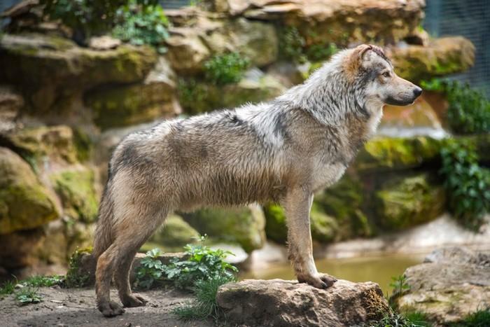 Journées du patrimoine 2019 - Animation VIP Loups et atelier d'art pariétal