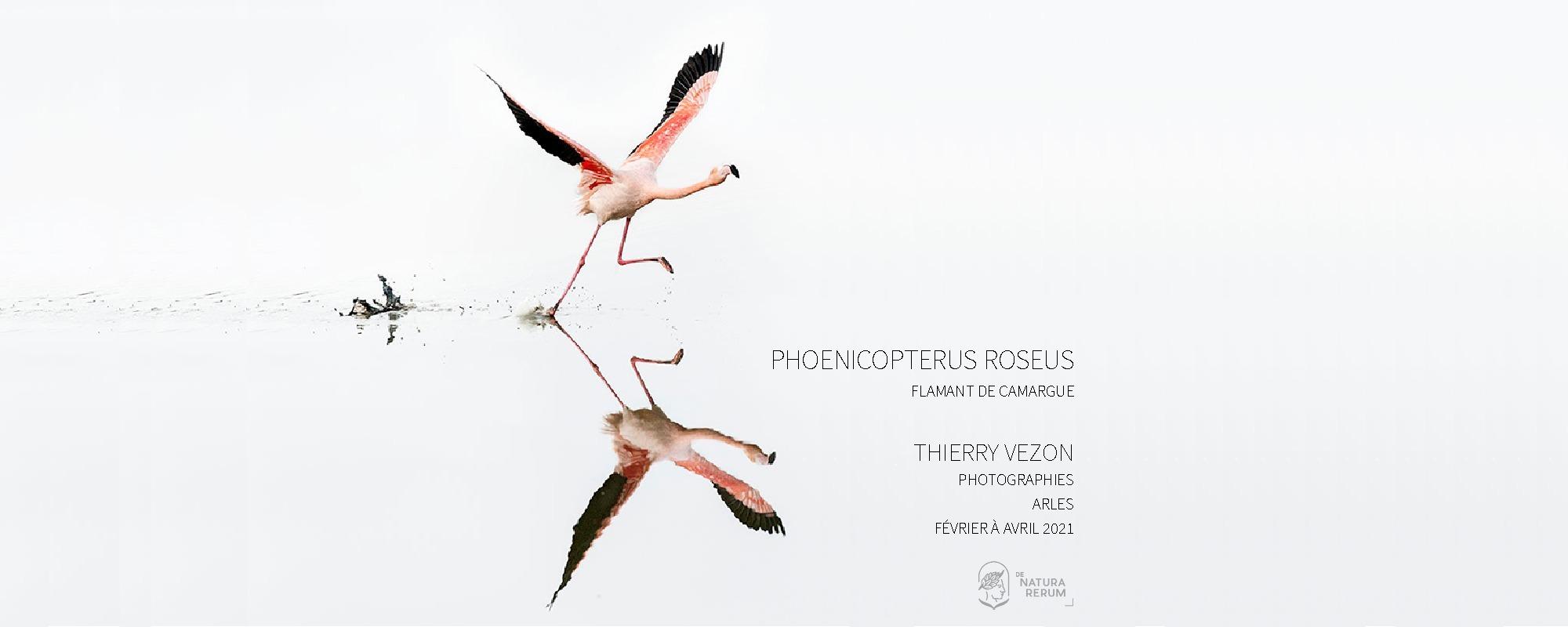 Une nouvelle exposition à partir du 1er février et jusqu'à la fin du mois de juin, Phoenicopterus roseus, Flamant de Camargue par Thierry Vezon.