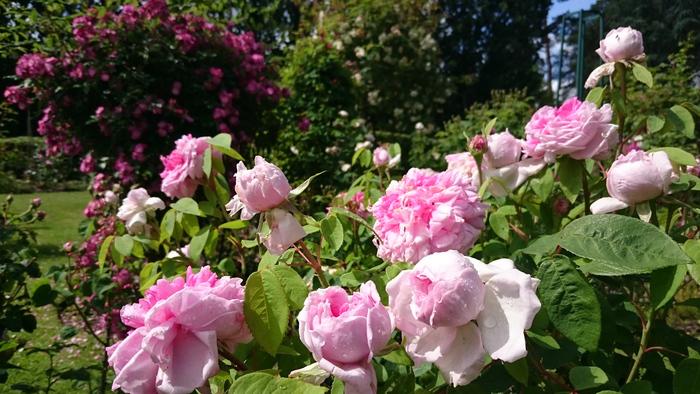 Plusieurs centaines de rosiers anciens et de cornouillers chinois fleurissent en harmonie et créent des paysages oniriques ! Laissez-vous inspirer, photographiez et tentez de gagner un abonnement d...