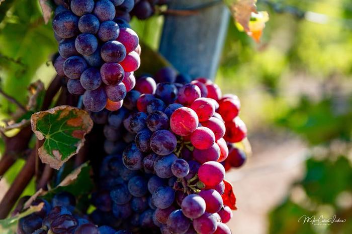 Journées du patrimoine 2019 - Balade oenologique dans le vignoble Bonifacien