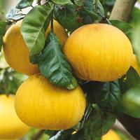 Menton - Visite guidée :  le jardin d'agrumes du Palais de Carnolès
