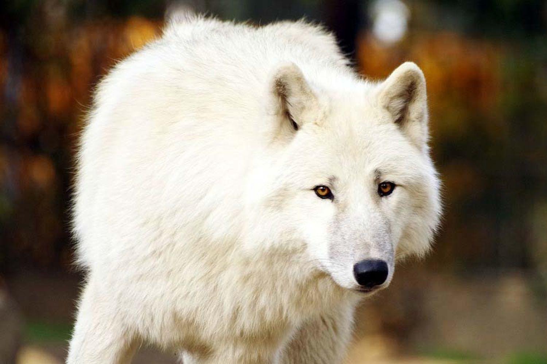 Annulé | Loup y es-tu ?