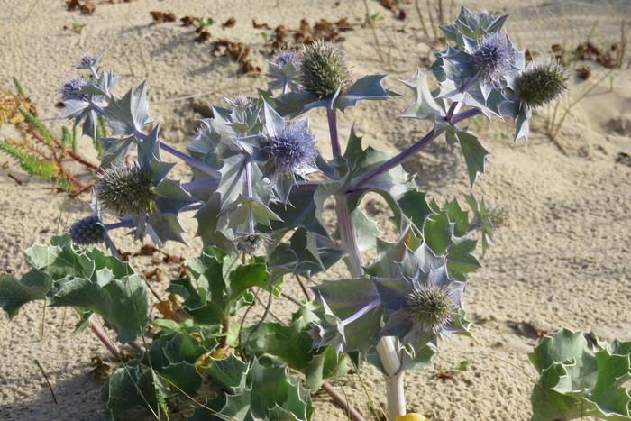 Promenade sur la dune de Torreilles