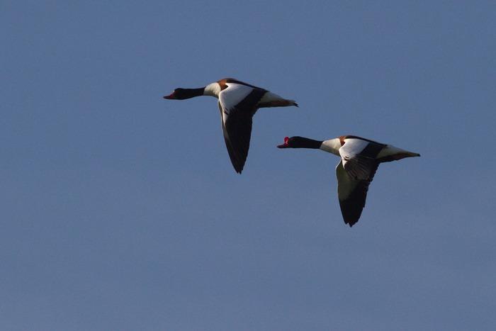 Balade naturaliste : oiseaux migrateurs COMPLET