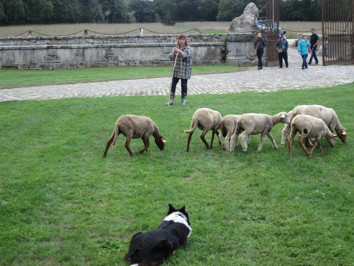 Journées du patrimoine 2020 - Démonstration de chien de berger sur troupeau de moutons et canards au château du Mesnil-Voysin
