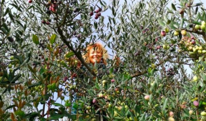 La cueillette inter-religieuse des olives