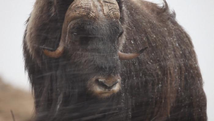 Journées du patrimoine 2020 - Ovibos, survivant de l'Arctique