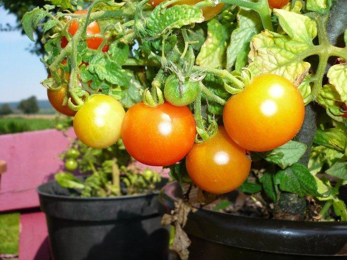 Découvrez comment jardiner facilement chez soi. Quelles plantes sont nos alliées au jardin et lesquelles s'entraident.
