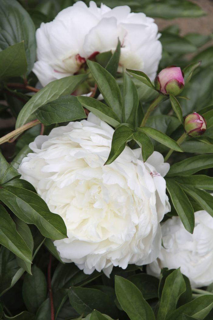 Journées du patrimoine 2020 - Démonstration et conseils de plantation d'iris et de pivoines