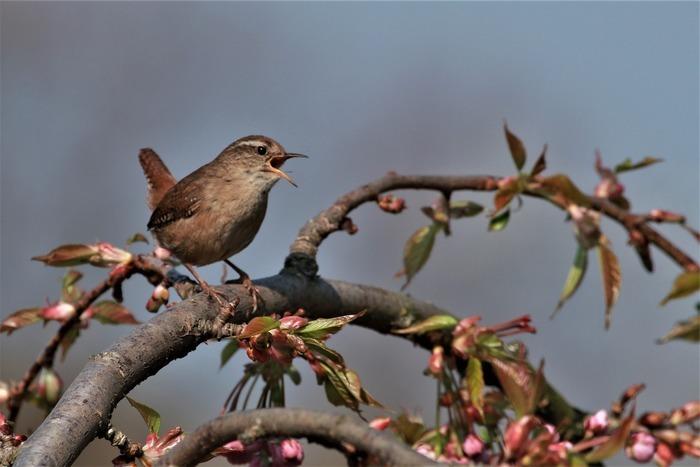 Les oiseaux nous enchantent au printemps