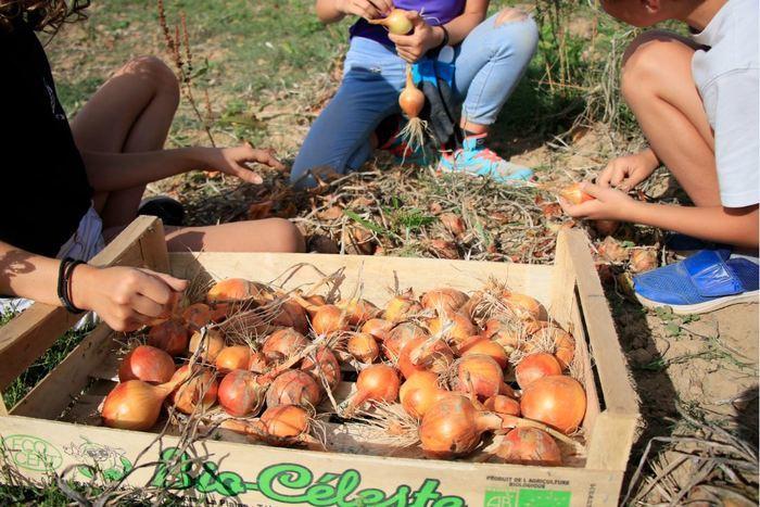 Chantier plantation des oignons