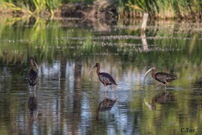 Le temps d'une journée, vous allez découvrir la biodiversité et les oiseaux de Camargue, sur un circuit de 5 km aux paysages variés, accompagné d'un guide naturaliste.