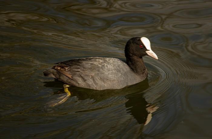 Balade naturaliste : oiseaux d'eau