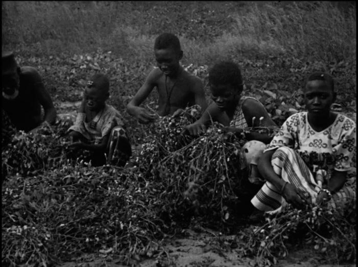 La culture de l'arachide au Sénégal