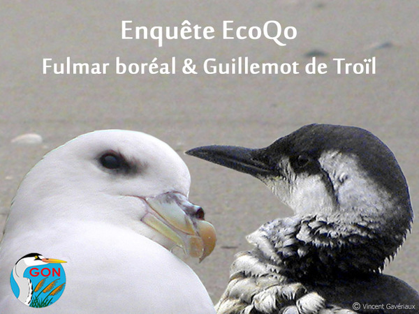 Enquête EcoQo – Fulmar boréal & Guillemot de Troïl