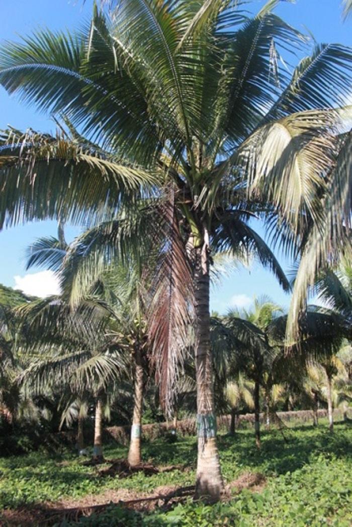 Coconi, Călărași - Wikipedia