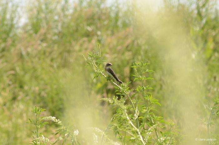 Balade naturaliste : hirondelles
