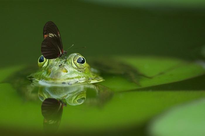 Découvrez comment vivent et se reproduisent les grenouilles et autres amphibiens aquatiques.