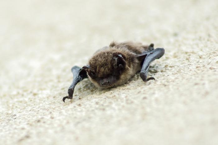 Seul mammifère volant, la chauve-souris mange 2000 à 7000 insectes par nuit ! Une activité pour mieux les connaître.