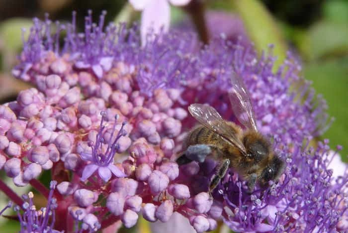 Journées du patrimoine 2019 - Atelier pour découvrir un patrimoine vivant mais en danger : l'abeille noire