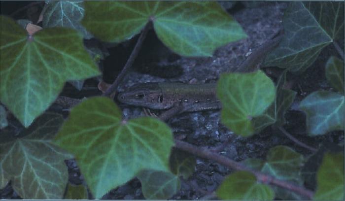 Balade naturaliste : lézards et compagnie