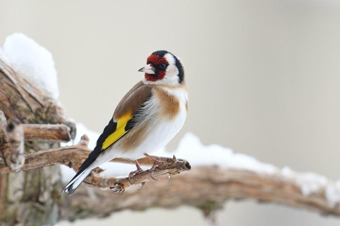 Fabriquons des boules de graisse pour les oiseaux restés en France cet hiver.
