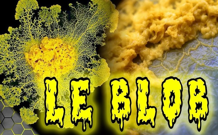 Découvrez le BLOB, un organisme unicellulaire dépourvu de bouche, d'estomac, d'yeux, offrant 720 sexes différents, et qui pourtant voit, sent, digère, s'accouple…