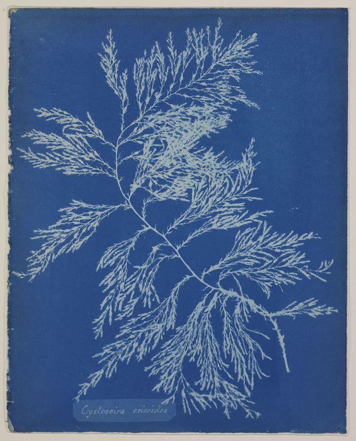 Journées du patrimoine 2019 - Les cyanotypes d'algues d'Anna Atkins ou l'obstination d'une pionnière de la photographie
