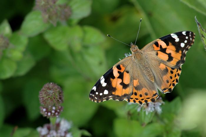 Balade naturaliste : les insectes ailés