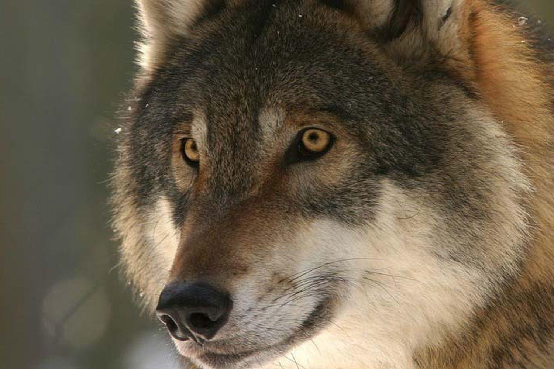 Annulé | Les loups