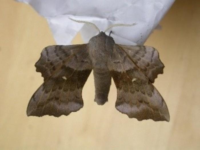 Balade naturaliste : les papillons de nuit