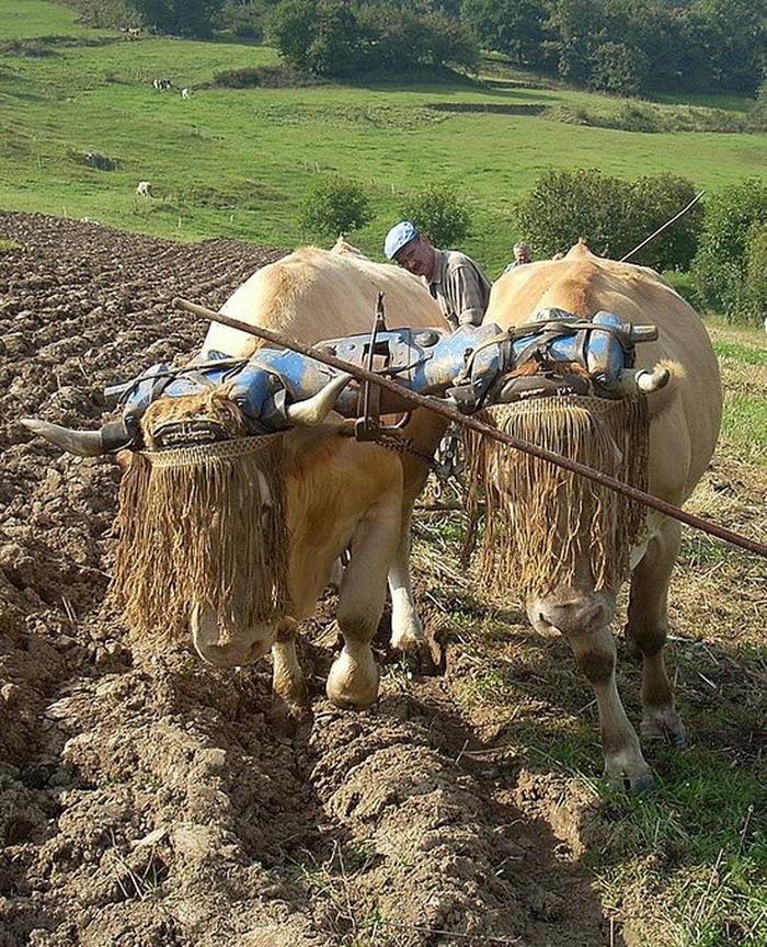 Journées du patrimoine 2018 - Démonstration d'attelage de bovins et de labours à l'ancienne.
