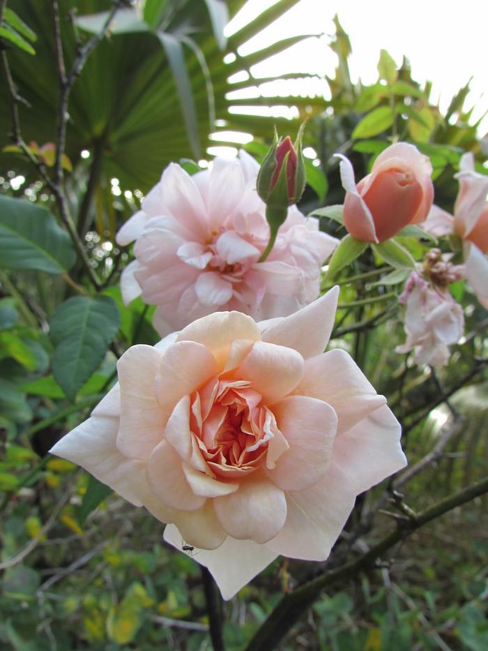Journées du patrimoine 2017 - La rose Bourbon, patrimoine de La Réunion, 200 ans d'histoire