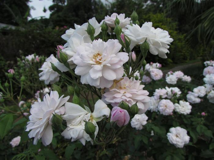 Journées du patrimoine 2017 - La rose de Bourbon, patrimoine de La Réunion, 200 ans d'histoire