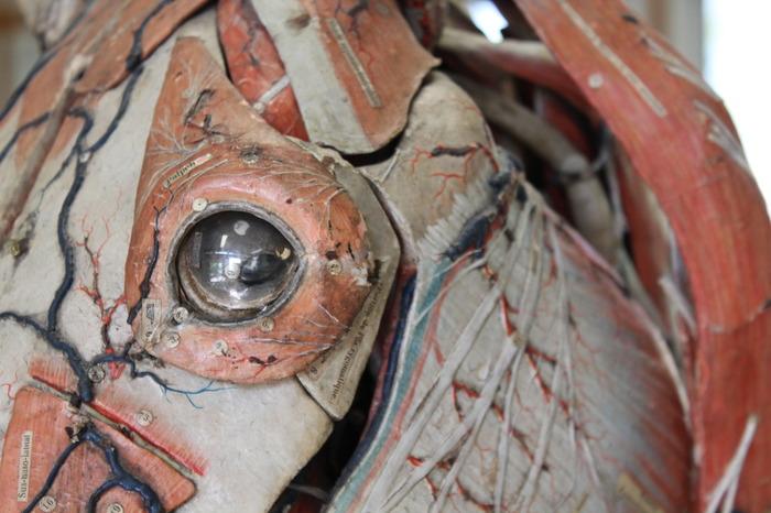 Journées du patrimoine 2018 - Les modèles anatomiques du Docteur Auzoux