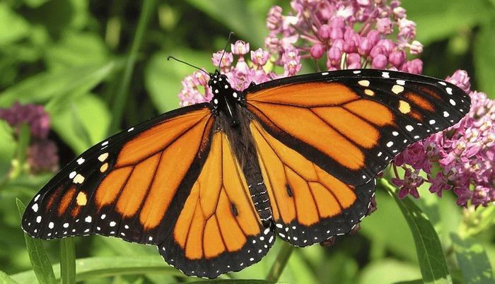 Les papillons, des insectes parmi tant d'autres