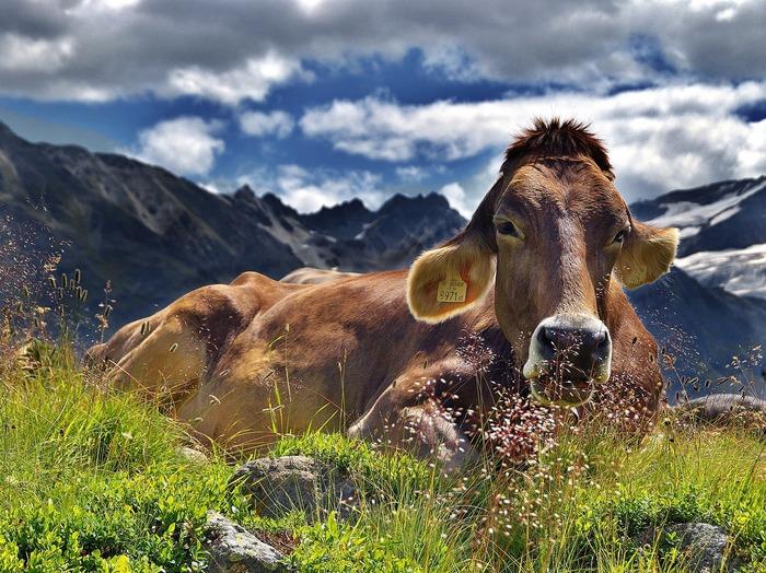 Exposition - Les vaches, histoires à ruminer