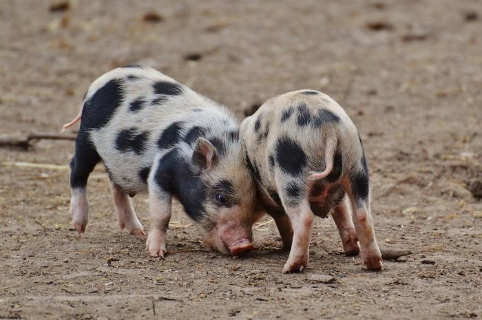 Présentation des races porcines et pesée