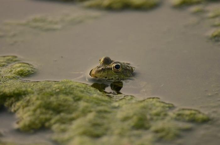 Promenade parmi les tritons, grenouilles et crapauds