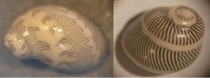 Journées du patrimoine 2018 - Quelques fossiles du Miocène de la carrière dite de «Saint-Martin-d'Oney» avec Jean-Jacques Cladères, paléontologue amateur.