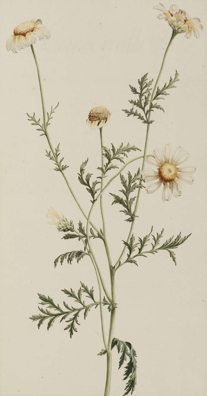Journées du patrimoine 2018 - Verveine-menthe ou camomille ? Les plantes tisanières en images à la Médiathèque.
