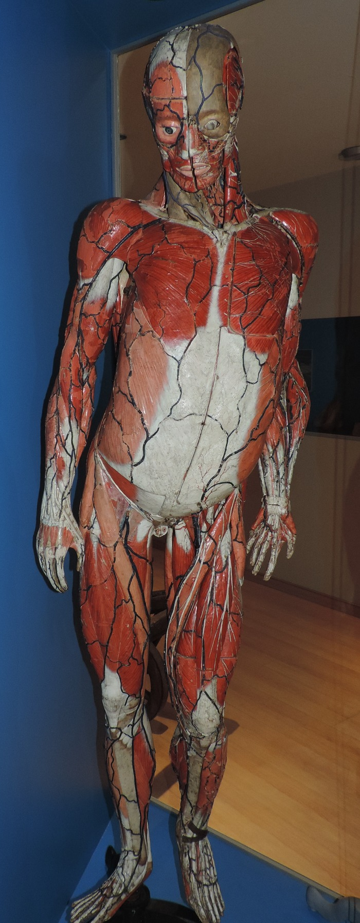 Berühmt Museum Of Human Anatomy Zeitgenössisch - Menschliche ...