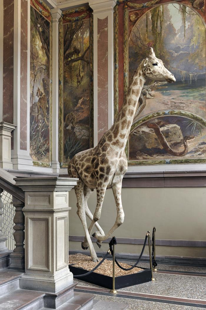 Crédits image : Girafe du Musée Zoologique, photo: Musées de Strasbourg