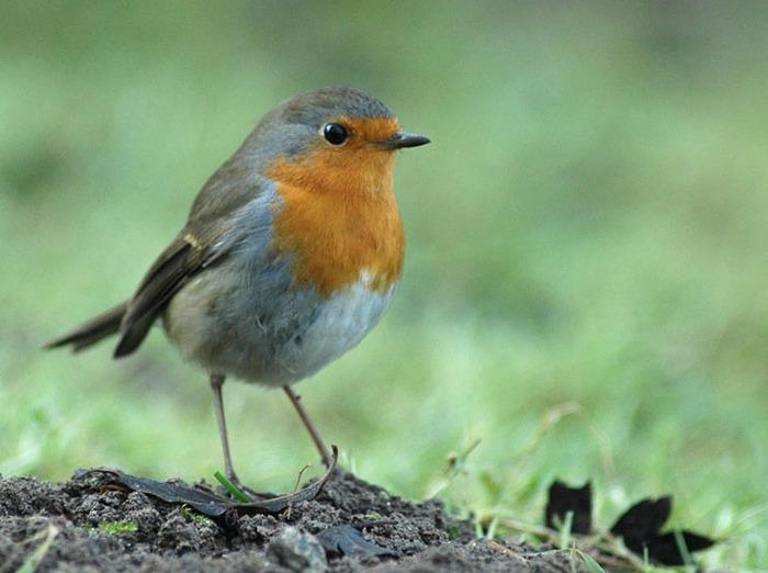 zoom sur le chant des oiseaux