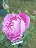 Journées du patrimoine 2016 -Au nom de la rose Bourbon