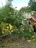 Rendez Vous aux Jardins 2018 -Visite commentée de la roseraie