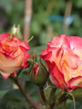 Rendez Vous aux Jardins 2018 -Découverte de l'univers des roses