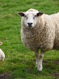 Rendez Vous aux Jardins 2018 -Découvrez le travail d'éleveur d'ovins