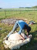 Rendez Vous aux Jardins 2018 -Démonstration de tonte de moutons
