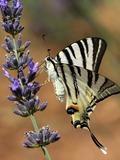 Rendez Vous aux Jardins 2018 -Exposition de photographies naturalistes des papillons de la Sainte-Baume